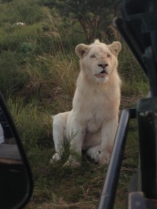 lion-and-jeep